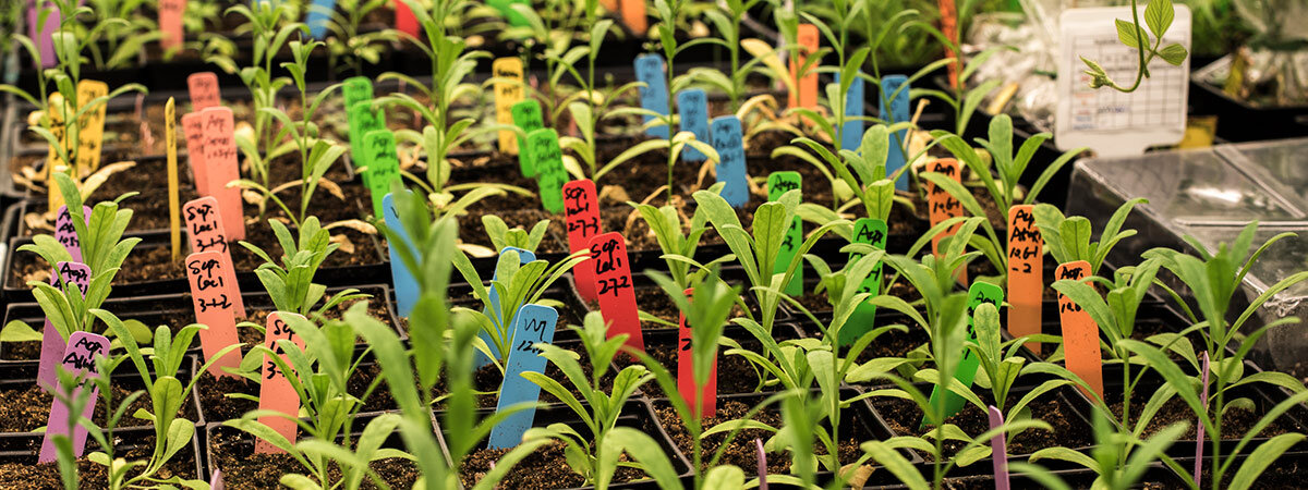 Test plants at the Joint Bioenergy Institute (JBEI)
